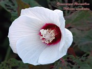 Robin Huggins - Crimsoneyed Rosemallow