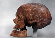 Artifact Photos - Cro-magnon Skull by Granger