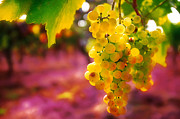 Grape Digital Art Originals - Croatian Grapes by John Galbo