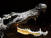 Day Metal Prints - Crocodile Metal Print by Scott Hovind