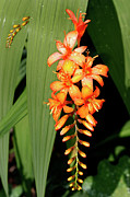 Crocosmia Prints - Crocosmia Inflorescence Print by Dr Keith Wheeler