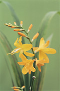 Crocosmia Framed Prints - Crocosmia mars Framed Print by Archie Young
