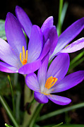 Head Framed Prints - Crocus Flower Framed Print by Andrew Dernie