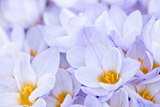 Early Flowers Posters - Crocus flowers Poster by Elena Elisseeva