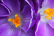 Carolyn Stagger Cokley Metal Prints - Crocus Haze Metal Print by Carolyn Stagger Cokley