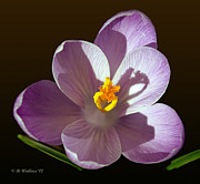Crocus In Full Bloom Print by Brian Wallace