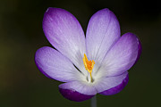 Orientation Art - Crocus by Jacky Parker