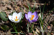 Angiosperm Art - Crocus Tommasinianus by Photo Researchers