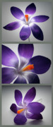 Wall Photo Originals - Crocus Triptych. by Terence Davis