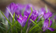 Crocus Flowers Framed Prints - Crocus Vista Framed Print by Mike Reid