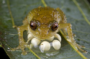Mar2613 Art - Cross Frog Male Protecting Eggs Papua by Piotr Naskrecki