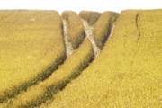 Rural Scenes Prints - Crossed Lanes on Cornfield Print by Heiko Koehrer-Wagner