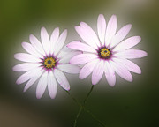 2 - Crossing Daisies by Roberto Alamino