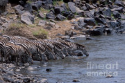 Zebras Photos - Crossing the Mara River by Sandra Bronstein