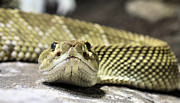 Vipers Posters - Crotalus basiliscus Poster by JC Findley