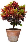 Ornate Art - Croton Tree In Flowerpot by Atiketta Sangasaeng