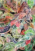 Water Colour Drawings - Croton tropical art print by Derek Mccrea