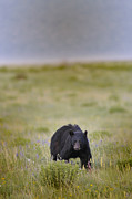 Many Glacier Prints - Crouching Black Bear Print by Don Wolf