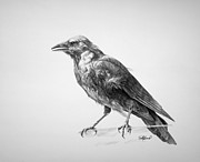 Black Bird Drawings Prints - Crow Drawing Print by Steve Goad