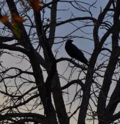 Photos Of Autumn Prints - Crow in a Tree Print by Diana Nigon