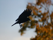 Corvus Brachyrhynchos Prints - Crow In Flight 1 Print by Gothicolors And Crows