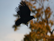 Corvidae Prints - Crow In Flight 2 Print by Gothicolors And Crows