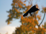 Corvus Brachyrhynchos Prints - Crow In Flight 3 Print by Gothicolors And Crows