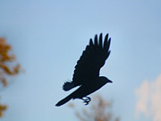 Corvus Brachyrhynchos Prints - Crow In Flight 5 Print by Gothicolors And Crows