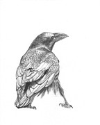 Studio Drawings Framed Prints - Crow Framed Print by Kazumi Whitemoon