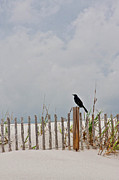 Sand Dune Posters - Crow On Dune Fence Poster by Kelley Nelson