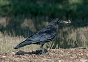 Crow Print by Stephen  Johnson