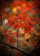 Red Maple Leaves Posters - Crown of Fire Poster by Mike Reid