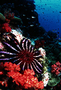 Richelieu Prints - Crown-of-thorns Starfish Print by Peter Scoones