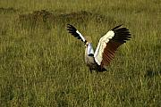Michele Burgess - Crowned Crane Display