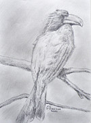 Hornbill Drawings Prints - Crowned Hornbill Print by Gilbert Pennison