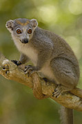 Madagascar National Park Prints - Crowned Lemur Eulemur Coronatus Female Print by Pete Oxford