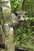 Lemuridae Prints - Crowned Lemur Eulemur Coronatus Female Print by Thomas Marent