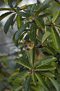 Crowned Head Posters - Crowned Lemur Eulemur Coronatus Male Poster by Pete Oxford