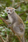 Lemuridae Framed Prints - Crowned Lemur Eulemur Coronatus Mother Framed Print by Pete Oxford