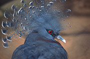 Blue Gray Prints - Crowned Pigeon Print by John Foxx