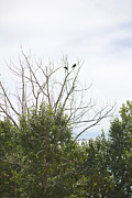 Crows In Trees Posters - Crows High in Trees Poster by Donna Munro