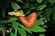 Cruiser Photo Posters - Cruiser butterfly Poster by Louise Heusinkveld