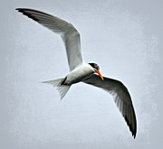 Tern Framed Prints - Cruising Framed Print by Fraida Gutovich