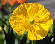 Crinkled Prints - Crumpled Yellow Poppy Flower Print by Gary Whitton