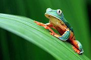 Amphibians Photo Posters - Cruziohyla Calcarifer Poster by Mlorenzphotography
