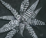 Rain Drawings - Cryptanthus Absolute Zero by Penrith Goff