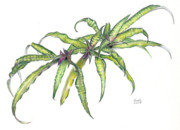 Bromeliad Originals - Cryptanthus Fred Ross by Penrith Goff