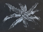 Earth Star Drawings - Cryptanthus Snowdrift by Penrith Goff