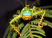 Katydid Art - Cryptic Katydid Insect On A Fern Leaf by Dr Morley Read