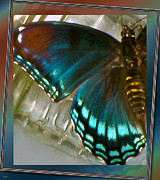 The Colors Of Butterflies Posters - Crystal Cuts Poster by Debra     Vatalaro